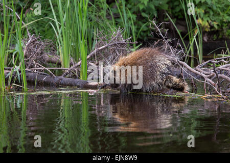 Porcupine on the Flambeau River in northern Wisconsin - Stock Photo