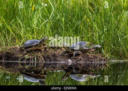 Two painted turtles - Stock Photo