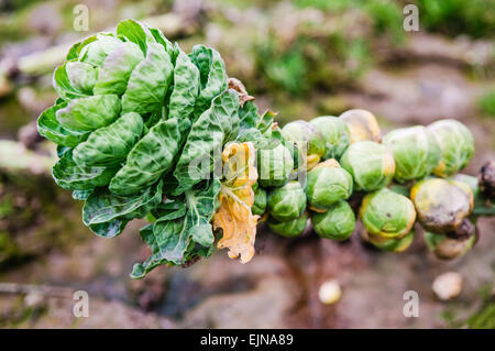 Brussel sprouts growing in a field - Stock Photo