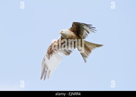 Red Kite (Milvus milvus) adult partial albino flying against blue sky, Wales, United Kingdom - Stock Photo