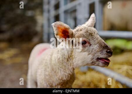 A young lamb rendered sharply bleating for her mother in a mothering up pen against the blurred background of inside - Stock Photo