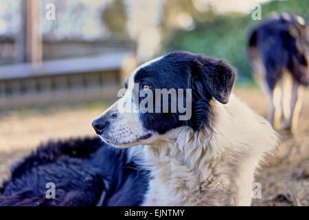 A portrait of a young sheepdog resting at the end of a hard working day on the farm sharply rendered against a blurred - Stock Photo