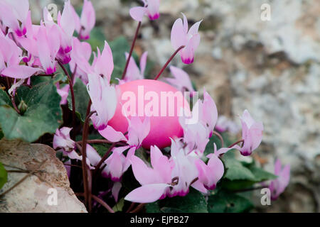 Easter egg painted pink in a bush of pink cyclamens - Stock Photo