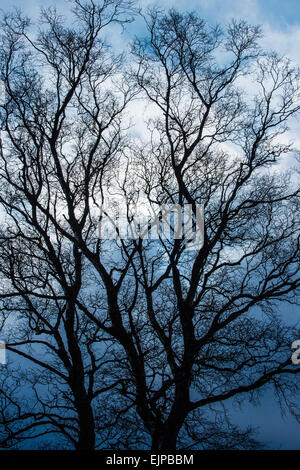 The silhouetted pattern of bare branches of deciduous trees against a cold grey overcast sky on a winter afternoon. - Stock Photo
