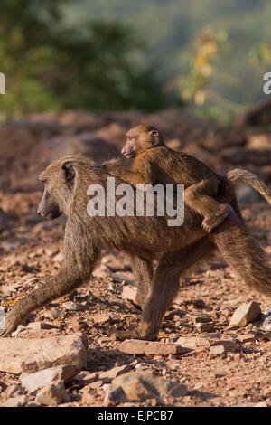 Olive or Anubis Baboons (Papio anubis). Female carrying young, 'pig-a-back'. Mole National Park. Ghana. West Africa. - Stock Photo