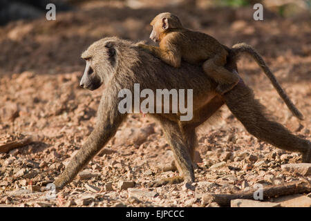 Olive or Anubis Baboons (Papio anubis). Female and young. Ghana. West Africa. Mole National Park. - Stock Photo