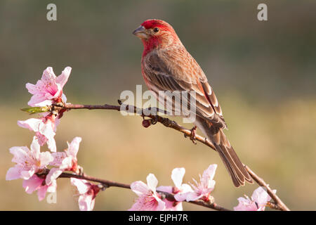 A male house finch perched on a peach tree branch - Stock Photo