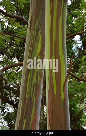 Keahua Arboretum and painted rainbow Eucalyptus trees along the Keahua stream in Kauai Hawaii - Stock Photo