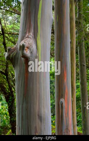 Keahua Arboretum and painted rainbow Eucalyptus trees along the Keahua stream in Kauai Hawaii - Stock Photo
