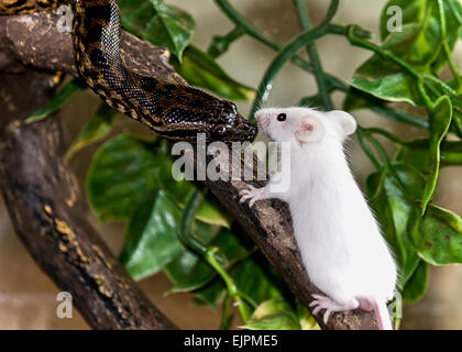 python snake on branch meeting white mouse for lunch - Stock Photo