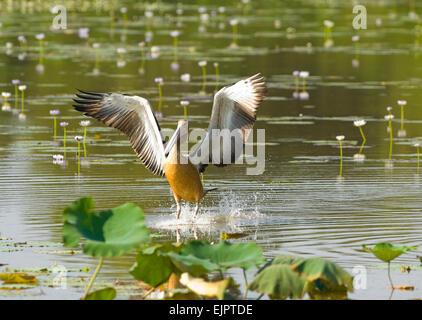 Australian Pelican (Pelecanus conspicillatus) coming in to land - Mamukala Wetlands, Kakadu National Park, Northern - Stock Photo