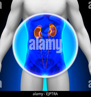 Medical X-Ray Scan - Kidneys - Stock Photo