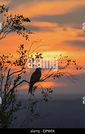 Red Kite (Milvus milvus) adult, perched in tree, silhouetted at sunset, Chilterns, Buckinghamshire, England, June - Stock Photo
