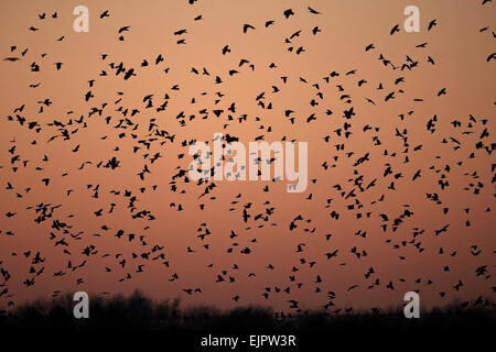 Rook (Corvus frugilegus) and Jackdaw (Corvus monedula) mixed flock, in flight, arriving at roost, silhouetted at - Stock Photo