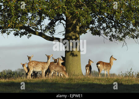 Fallow Deer (Dama dama) does and fawns, herd standing under oak tree, Studley Royal Deer Park, Studley Roger, North - Stock Photo