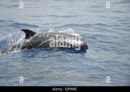 Melon-headed Whale (Peponocephala electra) adult, porpoising, Bali Sea, Lesser Sunda Islands, Indonesia, October - Stock Photo