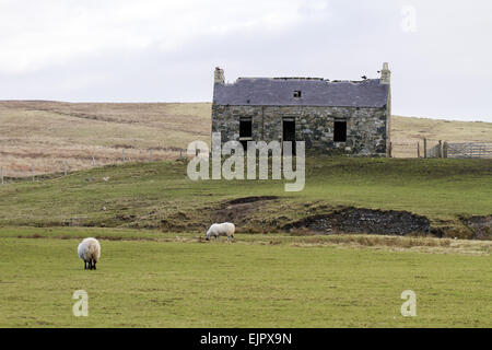 Derelict Abandoned Croft House With Sheep Grazing Dale Of