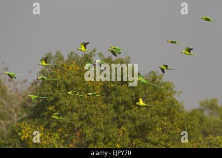 Rose-ringed Parakeet (Psittacula krameri) flock, in flight, Sundarbans, Ganges Delta, West Bengal, India, March - Stock Photo