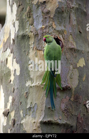 Rose-ringed Parakeet (Psittacula krameri) introduced species, adult female, at nesthole in tree trunk, Mannheim, - Stock Photo