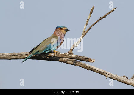 Indian Roller (Coracias benghalensis) adult, perched on branch, Yala N.P., Sri Lanka, February - Stock Photo