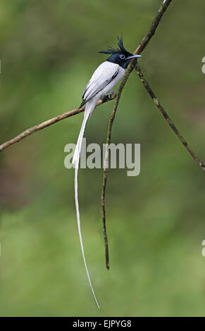 Asian Paradise-flycatcher (Terpsiphone paradisi paradisi) adult male, perched on twig in lowland rainforest, Sinharaja - Stock Photo