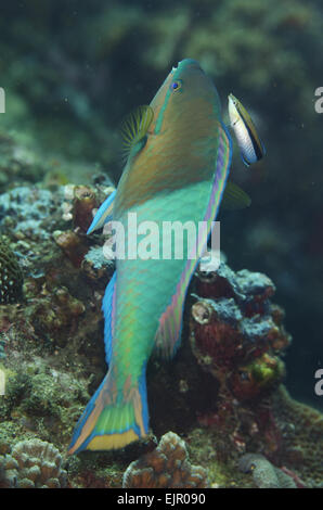 Yellowfin Parrotfish (Scarus flavipectoralis) adult male, being cleaned by Bluestreak Cleaner Wrasse (Labroides - Stock Photo