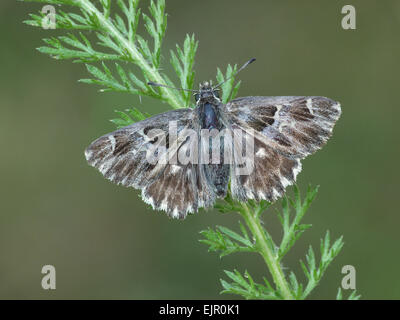 Tufted Marbled Skipper (Carcharodus flocciferus) adult female, resting on vegetation, Cannobina Valley, Italian - Stock Photo