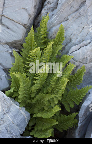 Rigid Buckler Fern (Dryopteris submontana) fronds, growing in limestone crevice, Maritime Alps, France, September - Stock Photo