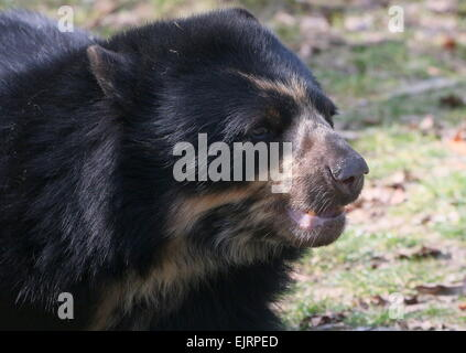 South American Spectacled or  Andean bear (Tremarctos ornatus) close-up of the head, seen in profile - Stock Photo