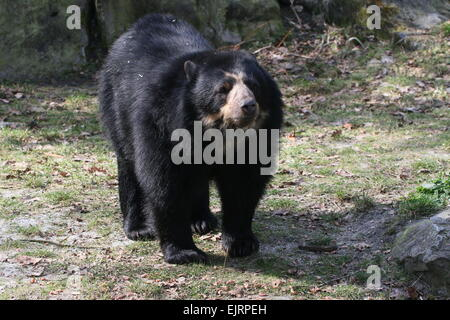 Alert male South American Spectacled or  Andean bear (Tremarctos ornatus) - Stock Photo