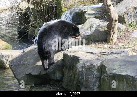 Spectacled or  Andean bear (Tremarctos ornatus) climbing up a river bank - Stock Photo