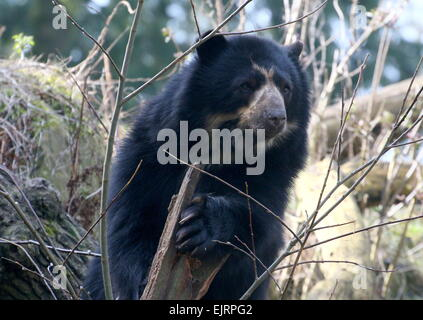 Spectacled or  Andean bear (Tremarctos ornatus) close-up, climbing up a tree - Stock Photo