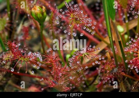 Oblong-leaved Sundew / spatulate-leaved sundew / spoonleaf sundew (Drosera intermedia) - Stock Photo