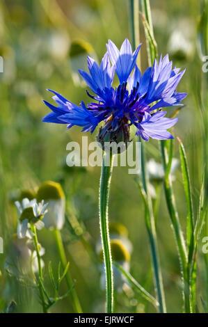 Cornflower / bachelor's button / bluebottle (Centaurea cyanus) in flower - Stock Photo