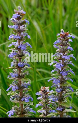 Blue bugle / Bugleherb / Bugleweed / Carpetweed (Ajuga reptans) in flower in meadow - Stock Photo