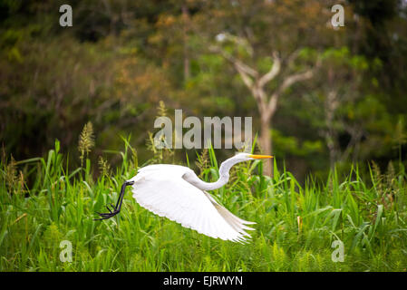 View of a great white heron taking off in the Amazon rainforest in Peru Stock Photo