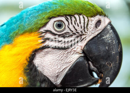 Closeup view of the face of a Blue and yellow Macaw in the Amazon rainforest of Brazil - Stock Photo