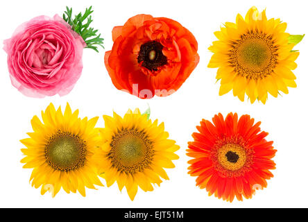 Single flower heads. Ranunculus, sunflower, gerber, anemone isolated on white background - Stock Photo