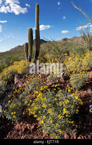 Brittlebush (Encelia farinosa), Saguaro National Park, West, Tucson, Arizona - Stock Photo