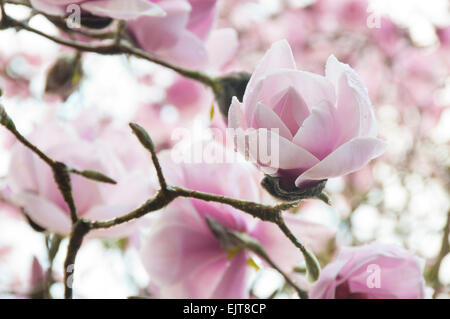 Magnolia Liliiflora pink Tulip tree in bloom springtime - Stock Photo