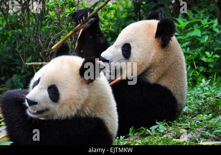 A pair of Giant Pandas enjoying bamboo at the National Panda Reserve at Chengdu, ( The capital of Sichuan )China - Stock Photo