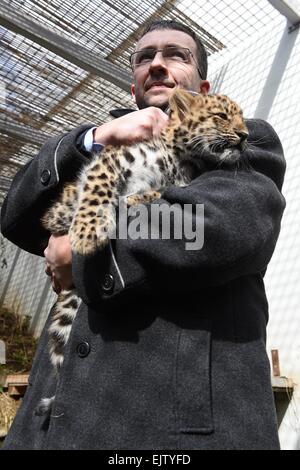 Olomouc Zoo, Czech Republic. 1st Apr, 2015. Cub of Amur leopard (Panthera pardus orientalis) is seen in Olomouc Zoo, in Czech Republic, April 1, 2015. Female cub was born on January 26th. Credit:  Ludek Perina/CTK Photo/Alamy Live News