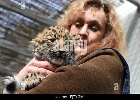 Olomouc Zoo, Czech Republic. 1st Apr, 2015. Keeper Dana Reisigova holds a cub of Amur leopard (Panthera pardus orientalis) in Olomouc Zoo, in Czech Republic, April 1, 2015. Female cub was born on January 26th 2015 in Olomouc Zoo. Credit:  Ludek Perina/CTK Photo/Alamy Live News