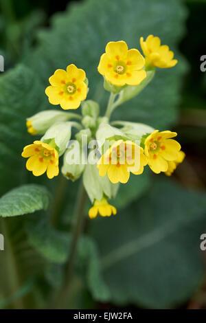 Cowslip (Primula veris) - Stock Photo