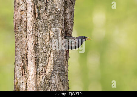 Starling looking out of its nest hole in the tree trunk - Stock Photo