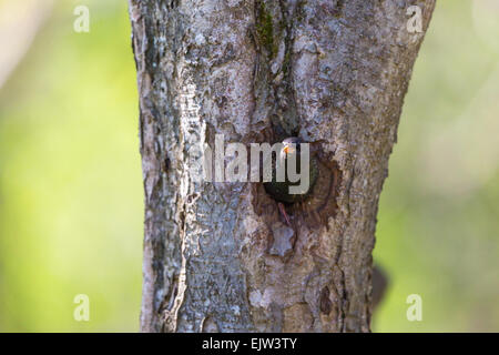 Starling look out from its nesting holes in the tree trunk - Stock Photo