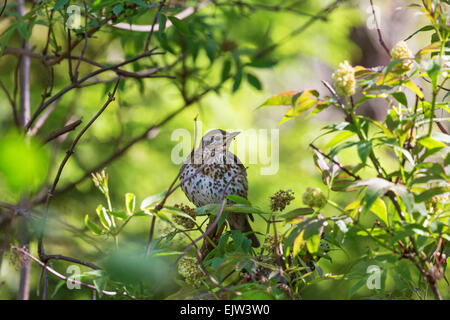 Song thrush on a branch in the tree - Stock Photo