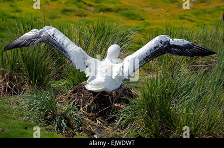 Adult Wandering Albatross on nest with unfolded wings Prion Island South Georgia - Stock Photo