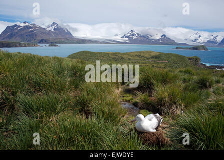 Wandering Albatross on nest Prion Island with mainland in distance South Georgia - Stock Photo