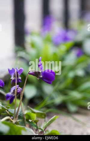 Viola odorata growing in a crack in the paving. - Stock Photo